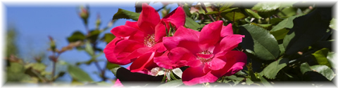 red_rose_pic_04.jpg